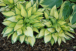 Orange Marmalade Ball Hosta (Hosta 'Orange Marmalade') at Meadows Farms Nurseries