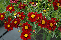 Mercury Rising Tickseed (Coreopsis 'Mercury Rising') at Meadows Farms Nurseries