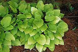 Fire Island Hosta (Hosta 'Fire Island') at Meadows Farms Nurseries