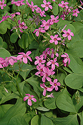 Pink Wood Sorrel (Oxalis crassipes 'Rosea') at Meadows Farms Nurseries