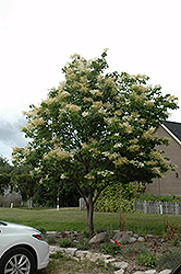Japanese Tree Lilac (Syringa reticulata) at Meadows Farms Nurseries