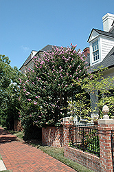 Zuni Crapemyrtle (Lagerstroemia 'Zuni') at Meadows Farms Nurseries