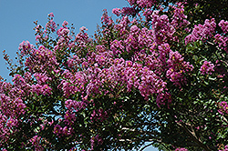 Catawba Crapemyrtle (Lagerstroemia indica 'Catawba') at Meadows Farms Nurseries