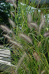 Cassian Dwarf Fountain Grass (Pennisetum alopecuroides 'Cassian') at Meadows Farms Nurseries