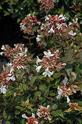 Little Richard Glossy Abelia (Abelia x grandiflora 'Little Richard') at Meadows Farms Nurseries