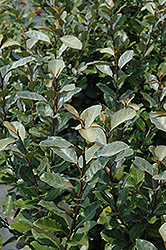 Ebbing's Silverberry (Elaeagnus x ebbingei) at Meadows Farms Nurseries