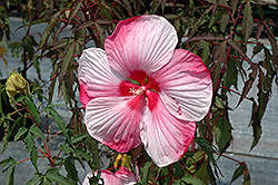 Turn Of The Century Hibiscus (Hibiscus 'Turn Of The Century') at Meadows Farms Nurseries