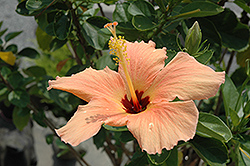 Peach Hibiscus (Hibiscus rosa-sinensis 'Peach') at Meadows Farms Nurseries