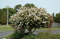 Acoma Crapemyrtle (Lagerstroemia 'Acoma') at Meadows Farms Nurseries