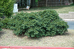 Spreading English Yew (Taxus baccata 'Spreading') at Meadows Farms Nurseries