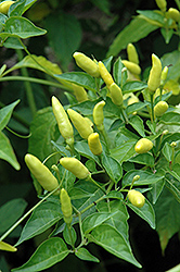 Tabasco Pepper (Capsicum frutescens 'Tabasco') at Meadows Farms Nurseries