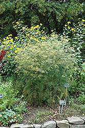 Fennel (Foeniculum vulgare) at Meadows Farms Nurseries