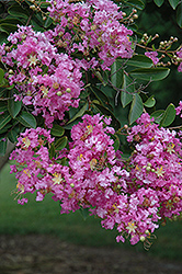 Lipan Crapemyrtle (Lagerstroemia 'Lipan') at Meadows Farms Nurseries