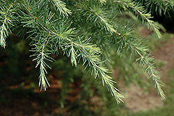 Blue Ice Deodar Cedar (Cedrus deodara 'Blue Ice') at Meadows Farms Nurseries
