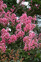 Potomac Crapemyrtle (Lagerstroemia indica 'Potomac') at Meadows Farms Nurseries