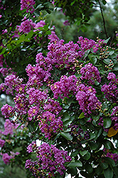 Powhatan Crapemyrtle (Lagerstroemia indica 'Powhatan') at Meadows Farms Nurseries