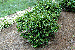 Carissa Holly (Ilex cornuta 'Carissa') at Meadows Farms Nurseries