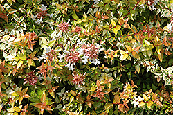 Kaleidoscope® Abelia (Abelia x grandiflora 'Kaleidoscope') at Meadows Farms Nurseries