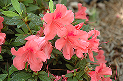 Encore® Autumn Coral™ Azalea (Rhododendron 'Conled') at Meadows Farms Nurseries