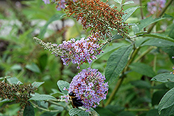 Lochinch Butterfly Bush (Buddleia 'Lochinch') at Meadows Farms Nurseries