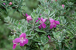 Texas Sage (Leucophyllum frutescens) at Meadows Farms Nurseries