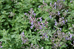 Junior Walker Catmint (Nepeta x faassenii 'Novanepjun') at Meadows Farms Nurseries
