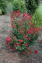 Red Rooster Crapemyrtle (Lagerstroemia indica 'PIILAG III') at Meadows Farms Nurseries