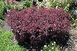Xenox Stonecrop (Sedum 'Xenox') at Meadows Farms Nurseries