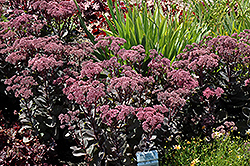 Maestro Stonecrop (Sedum 'Maestro') at Meadows Farms Nurseries