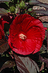 Midnight Marvel Hibiscus (Hibiscus 'Midnight Marvel') at Meadows Farms Nurseries