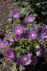 Peachie's Pick Aster (Stokesia laevis 'Peachie's Pick') at Meadows Farms Nurseries