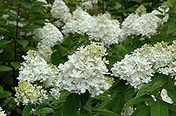 Fire And Ice Hydrangea (Hydrangea paniculata 'Wim's Red') at Meadows Farms Nurseries