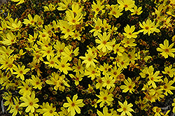 Citrine Tickseed (Coreopsis 'Citrine') at Meadows Farms Nurseries