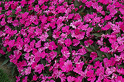 SunPatiens® Compact Lilac New Guinea Impatiens (Impatiens 'SunPatiens Compact Lilac') at Meadows Farms Nurseries