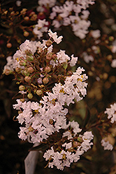 Delta Moonlight™ Crapemyrtle (Lagerstroemia indica 'Delea') at Meadows Farms Nurseries