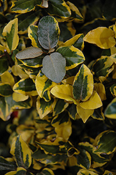 Olive Martini™ Silverberry (Elaeagnus x ebbingei 'Viveleg') at Meadows Farms Nurseries