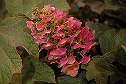 Ruby Slippers Hydrangea (Hydrangea quercifolia 'Ruby Slippers') at Meadows Farms Nurseries