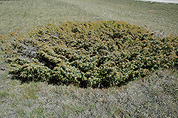 Common Juniper (Juniperus communis) at Meadows Farms Nurseries