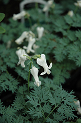 Ivory Hearts Bleeding Heart (Dicentra 'Ivory Hearts') at Meadows Farms Nurseries
