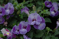 Blue Moon Torenia (Torenia 'Blue Moon') at Meadows Farms Nurseries