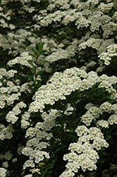 Snowmound Spirea (Spiraea nipponica 'Snowmound') at Meadows Farms Nurseries