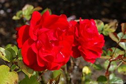 Showbiz Rose (Rosa 'Showbiz') at Meadows Farms Nurseries