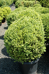 Green Mountain Boxwood (globe form) (Buxus 'Green Mountain (globe)') at Meadows Farms Nurseries