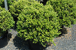 Green Beauty Boxwood (globe form) (Buxus 'Green Beauty (globe)') at Meadows Farms Nurseries
