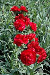 Early Bird™ Radiance Pinks (Dianthus 'Wp08 Mar05') at Meadows Farms Nurseries