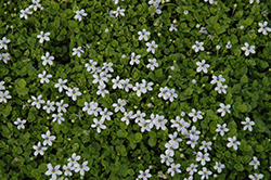 Blue Star Creeper (Isotoma fluviatilis) at Meadows Farms Nurseries