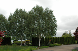 Whitebark Himalayan Birch (Betula utilis 'var. jacquemontii') at Meadows Farms Nurseries