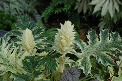 Whitewater Acanthus (Acanthus 'Whitewater') at Meadows Farms Nurseries