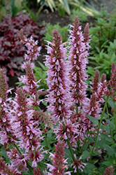 Cotton Candy Hyssop (Agastache 'Cotton Candy') at Meadows Farms Nurseries