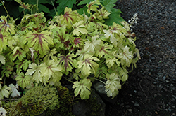 Golden Zebra Foamy Bells (Heucherella 'Golden Zebra') at Meadows Farms Nurseries